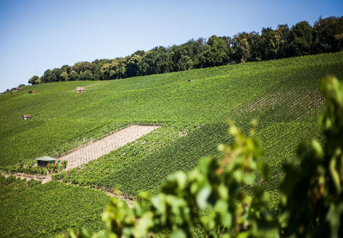 Stadtwald auf dem Wartberg schützt die Reben