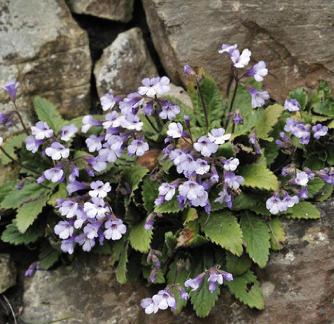 Zimbelkraut – ein echtes Mauerblümchen